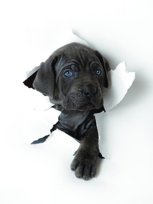 Grey Puppy